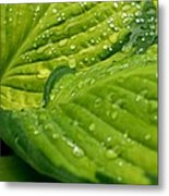 Hosta Droplets II Metal Print