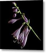 Hosta Flower After The Rain Metal Print