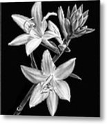 Hosta Flowers In Black And White Metal Print