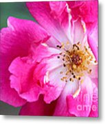 Hot Pink Rose Metal Print