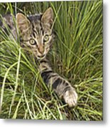 House Cat Hunting In Grass Germany Metal Print