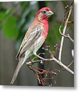 House Finch At Rest Metal Print