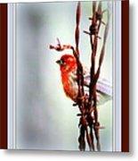 House Finch - Finch 2241-004 Metal Print