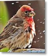 House Finch Metal Print by Helen Carson