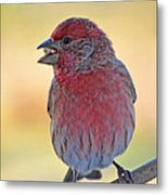House Finch II Metal Print