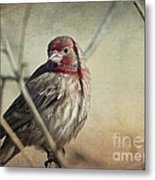 House Finch Two Metal Print