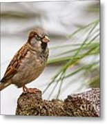 House Sparrow Passer Domesticus On The Perch Metal Print