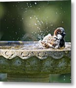 House Sparrow Washing Metal Print