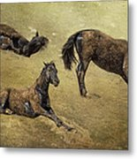 How A Black Horse Turns Brown - Pryor Mustangs Metal Print