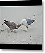 How To Eat A Blue Crab - Great Black Backed Gull In Training Metal Print