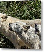 Howlin Artic Wolves Metal Print