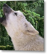 Howlling Arctic Wolf Pup Endangered Species Wildlife Rescue Metal Print