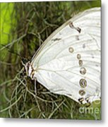 Huge White Morpho Butterfly Metal Print