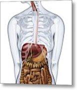 Human Digestive Anatomy Metal Print