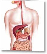 Human Digestive System, Artwork Metal Print