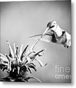 Hummingbird Black And White Metal Print