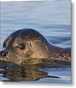 Humming Harbor Seal Metal Print