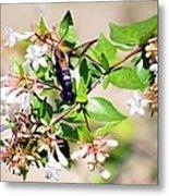 Hummingbird Clearwing Moth Metal Print