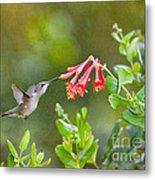 Hummingbird Dives In  Metal Print