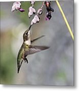 Hummingbird - Little Sipper Metal Print