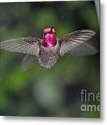 Hummingbird Male Anna's Flapping His Wings Metal Print