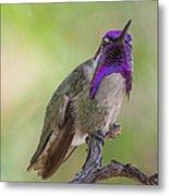 Hummingbird Male Costa Metal Print