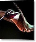 Hummingbird Male Costa's Decending  Metal Print