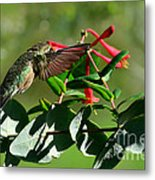 Hummingbird Morning Metal Print