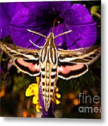 Hummingbird Moth   #8645 Metal Print