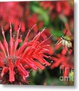 Hummingbird Moth Feeding On Red Flower Metal Print