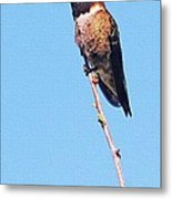 Hummingbird On Acacia Bush Twig Metal Print