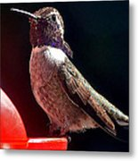Hummingbird Posing On Perch Metal Print