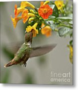 Hummingbird Sips Nectar Metal Print