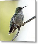 Hummingbird Sitting On A Branch Metal Print