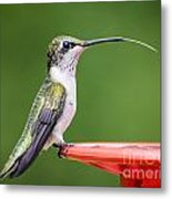 Hummingbird Sticky Her Tongue Out Metal Print