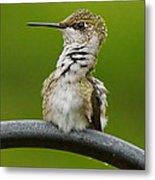 Hummingbird Stretching  Metal Print