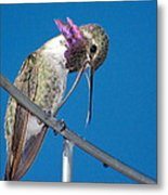 Hummingbird Yawn With Tongue Metal Print