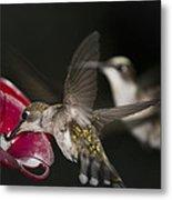 Hummingbirds In Flight Metal Print by Nelson Watkins
