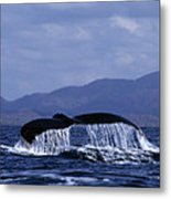 Hump Backed Whale Tail With Cascading Water Metal Print