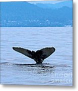 Humpback In Monterey Metal Print