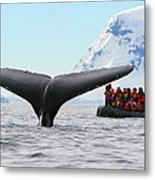 Humpback Whale Fluke  Metal Print by Tony Beck