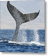 Humpback Whale Fluking Its Tail Metal Print