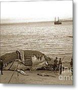 Humpback Whale On A Monterey Beach California  Circa 1896. Metal Print