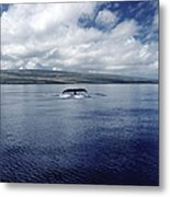 Humpback Whale Tail Slap Hawaii Metal Print