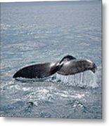 Humpback Whale Tail Metal Print