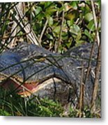 Hungry Alligator Metal Print
