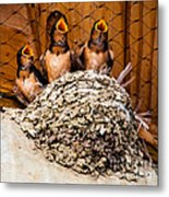 Hungry Baby Swallows - Antelope Island - Utah Metal Print by Gary Whitton