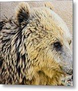 Hungry Bear Metal Print