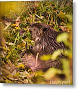 Hungry Beaver Metal Print