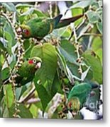 Hungry Chiriqui Conures Metal Print